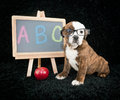 Back to school puppy bulldog wearing glasses sitting next a chalkboard ready go Royalty Free Stock Photography