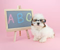 Back to school silly puppy wearing glasses sitting beside a chalkboard with a b c wrote on it Royalty Free Stock Photos