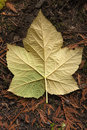 Back of vine maple leaf a large on the forest floor in north idaho Royalty Free Stock Photo
