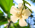Back white frangipani nature Royalty Free Stock Photos