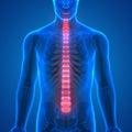 Backbone intervertebral disc anatomy Anterior view