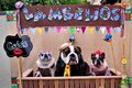 In the backdrop of the festa junina, graceful dogs dressed as rednecks in the `lambeijos` stall Royalty Free Stock Photo
