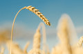Backdrop of ripening ears of yellow wheat field on the sky background. Copy space of the setting sun rays on horizon in Royalty Free Stock Photo