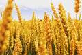 Backdrop of ripening ears of yellow wheat field on the sunset cloudy orange sky background. Copy space of the setting Royalty Free Stock Photo