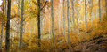 Background of autumn forest wide image a during fall season Royalty Free Stock Image