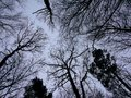 Low angle view on deciduous bare and pine tree crown  silhouettes