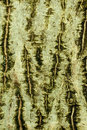 Background of bark of Common walnut Royalty Free Stock Photo
