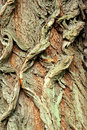 Background of bark of White Willow, Salix alba Royalty Free Stock Image