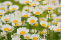 Background of beautiful White Daisy flowers Royalty Free Stock Photo