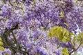 Background big beautiful  tree of purple wisteria blossoms Royalty Free Stock Photo