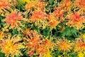 Orange chrysanthemum flowers Royalty Free Stock Photo
