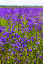 Background blurred landscape view of a field of bluebell flowers Royalty Free Stock Photo
