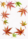 Background Border of Japanese Maple and Acer Leave Royalty Free Stock Photo