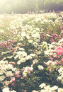 Background of bouquet of pink blooming rose bush toned natural flowers Stock Photography