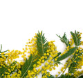 Background with branch of mimosa Royalty Free Stock Photos