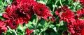 Background of bright garden flowers