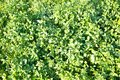 Background of bright green clover late spring Interior backgrounds texture. Interior