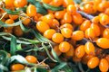 Background bright orange yellow sea buck thorn berries on the branch with green leaves Hippophae Rhamnoides. Healthy snack alter