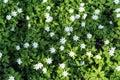 Carpet of forest snowdrops Anemone uralensis