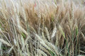 Background of close-up macro golden and green wheat ears in the field Royalty Free Stock Photo
