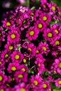 Background of colourful vivid summer flowers Royalty Free Stock Photo