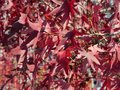 Background concept autump red maple leaf