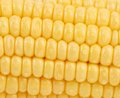 Background of corn grains close up whole Stock Photography