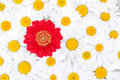 Background Of Daisies With Red...