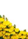 Background of dandelions