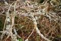 Background from dense branches. Beautiful landscape ,brushwood background. brushwood. undergrowth, underbrush, underwood, coppice, Royalty Free Stock Photo