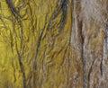 background, dry seaweed Dashi Kombu Royalty Free Stock Photo
