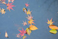 Background fallen Japanese Autumn Maple leaves in pond waters Royalty Free Stock Photo