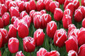 Background field red tulips Royalty Free Stock Images