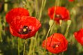 Background of flowering red poppies close-up Royalty Free Stock Photo