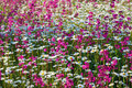 Background from flowers beautiful multi colored deck on a meadow Stock Photos