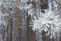 Background forest landscape frozen snowy pine branch in winter cold weather Royalty Free Stock Photography