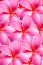 Background of frangipani flower beautiful Stock Photo