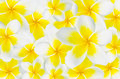 Background of frangipani plumeria templetree on Stock Images