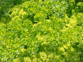 Background of fresh curly parsley in herb garden Stock Photo