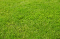 Background of fresh green spring grass lush or summer growing in a meadow in the sunshine Royalty Free Stock Photography