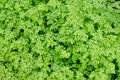 Background of fresh green spring leaves in daylight Royalty Free Stock Photo