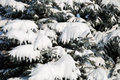 Background from a fur-tree covered with snow Royalty Free Stock Photo