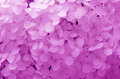 Background with gently purple flowers hydrangea texture and Royalty Free Stock Image