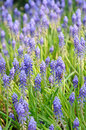 Background of grape hyacinth Royalty Free Stock Photos