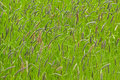 Background of grass and flowering sedge plants (Cyperaceae) Royalty Free Stock Photo