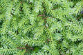 Background of green branches with needles fir tree Royalty Free Stock Image