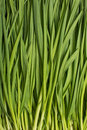 Background green chives Royalty Free Stock Photography