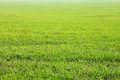 Background of green grass, texture from field. Summer landscape. Royalty Free Stock Photo