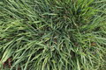 Background of green grass untrimmed Royalty Free Stock Photo