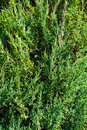Background of green juniper branches